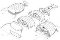 Reconstruction of the arthropod Sidneyia inexpectans as a 3D model built in sections derived from camera lucida drawings such as those in Fig. 2 (after Bruton 1981: fig. 107; reprinted by permission of the Royal Society of London).