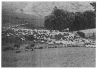 A down-country farmer shifting stock from one paddock to another. He is accompanied by his two sheep dogs, which are trained to run ahead of the farmer, on command, and guide the direction of the flock.