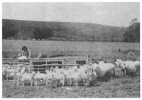 A husband and wife working with lambs. Besides castrating the males, the couple are removing the animals' tails so that dung will not become matted in the fleece. The family is at a relatively early stage of the developmental cycle, when the woman's work on the property is an essential part of the farm's operation. Eventually the farmer will hire casual help to assist with jobs like this.