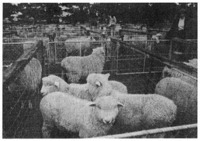 Sheep being exhibited at the Agricultural and Pastoral Association show in South Downs. Annual shows of this kind are held throughout New Zealand, providing a context in which local farmers may compete over the quality of their stock and other farm products.