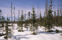 A color photograph of a grove of spruce trees in the winter. Snow is on the ground.