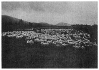 Shifting sheep on a down-country farm. Because the property was to be sold, the stock were being gathered for counting by the stock agents.