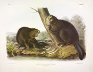 The painter John James Audubon is more well-known for his images of North American birds, but he also painted other wildlife, such as these two beavers working on a tree.