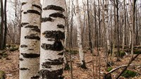 A color photograph of a forest of birch trees.