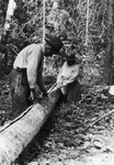 A black-and-white photograph of two figures. A line is cut down the center of the downed log and they are peeling the bark from the tree.